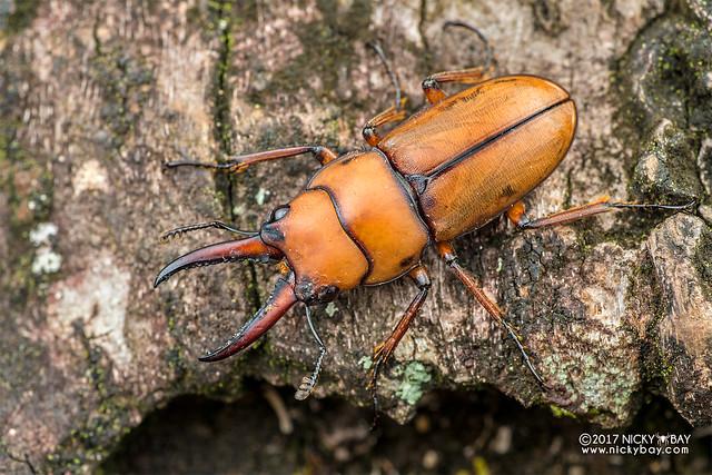 Stag beetle (Prosopocoilus flavidus) - DSC_7174