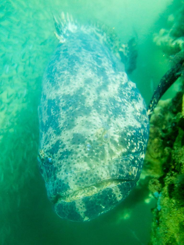 Goliaph Grouper (2)
