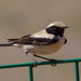 Desert Wheatear (Alan Curry)