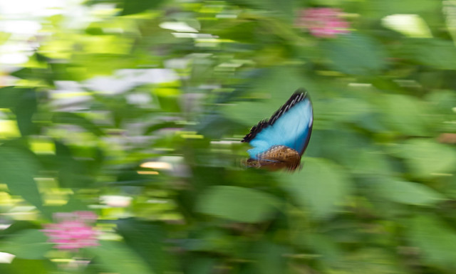 It's hard to photograph a moving butterfly!