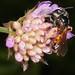 Andrena (Charitandrena) hattorfiana m by terraincognita96