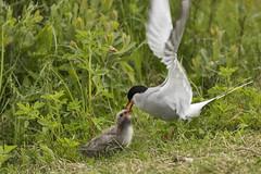 Arctic Tern (Sterna paradisaea) 6 062117