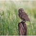 Little owl - Steenuil (Athene noctua) by Martha de Jong-Lantink