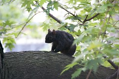 Canadian black squirrel in a tree in the backyard of a building on Atlantic Avenue.