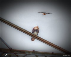 2017-07-16_P7161347_tone,start here,gram,shpmd_red-tailed hawk,clwtr