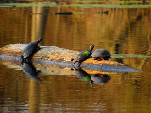 Turtles sunning on a log. Photographer Joann Kraft