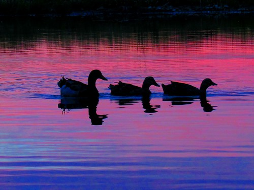 Waterfowl at sunset. Photographer Joann Kraft