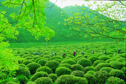 Longjing Tea Garden by Chen Hailin. From Visiting Marco Polo's Favorite City in China