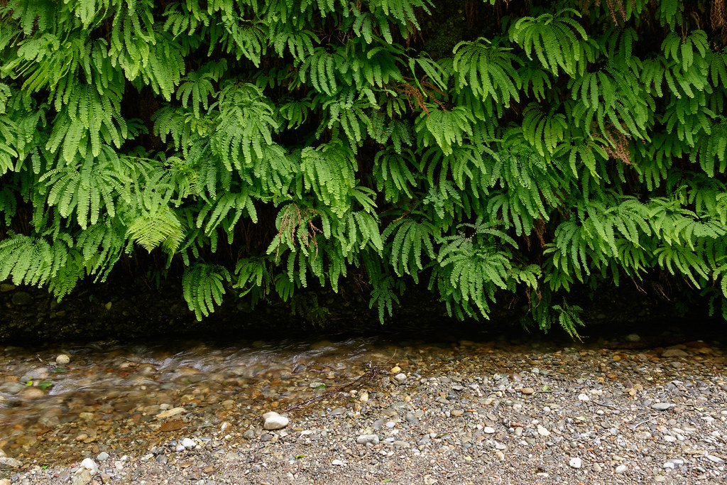 Ferns grown on the canyon wall beside a stream in Fern Canyon