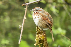 Song Sparrow (Rusty Form) 5-1-17 Ridgefield National Wildlife Reserve