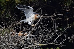 Black - shouldered Kites ( Juv. on the move )