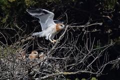 Black - shouldered Kites ( Juv. on the move )