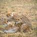 Cheetah Family Maasai Mara juni 22, 2017
