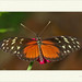 Heliconius hecale - Hecale Longwing por J. Amorin