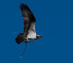Osprey (Pandion haliaetus)_DSC1058-editCC