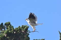 Black shouldered Kite ( Always something to do )