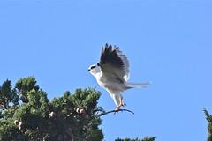 Black shouldered Kite ( Always something to do )