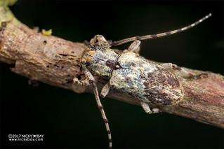 Longhorn beetle (Coptops sp.) - DSC_7127