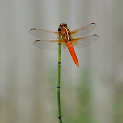 square dragonfly