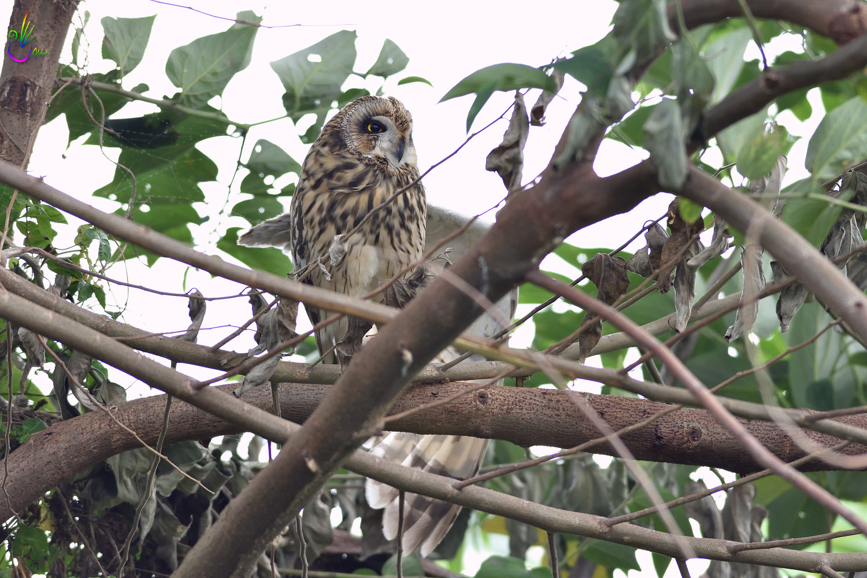 Short-eared_Owl_3275