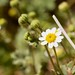 Pinto Mountains, Music Valley, Emory's Rock Daisy