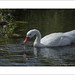 Coscoroba Swan Drinking