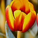 Tulip -131 by ron_hunt on off for summer (Sharing the Moment)