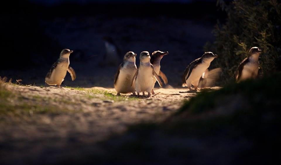 Melbourne - Philip Island - Pingouins