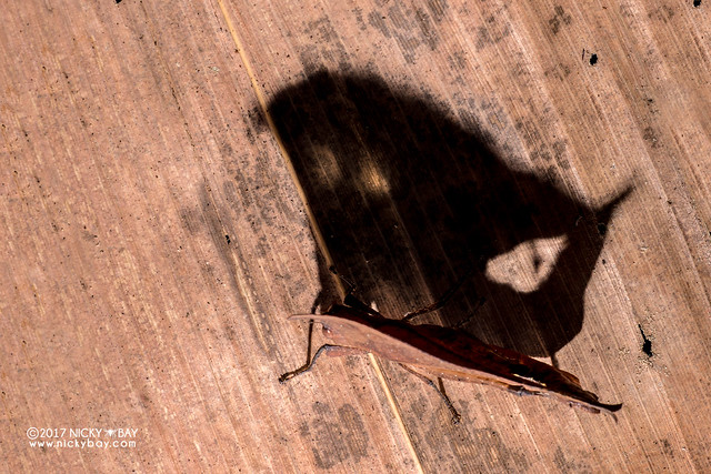 Dead leaf grasshopper (Caelifera) - DSC_7689