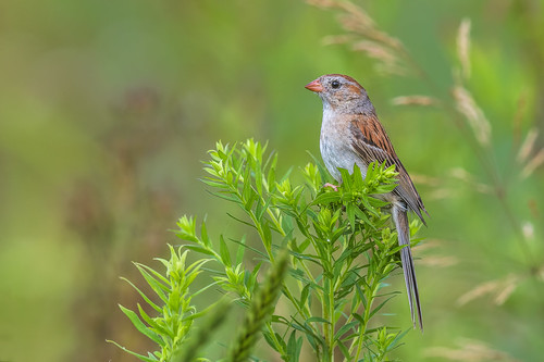 songbird wildlife polefarm bush bird sparrow green mercermeadows nature fieldsparrow lawrencetownship newjersey unitedstates us nikon d500