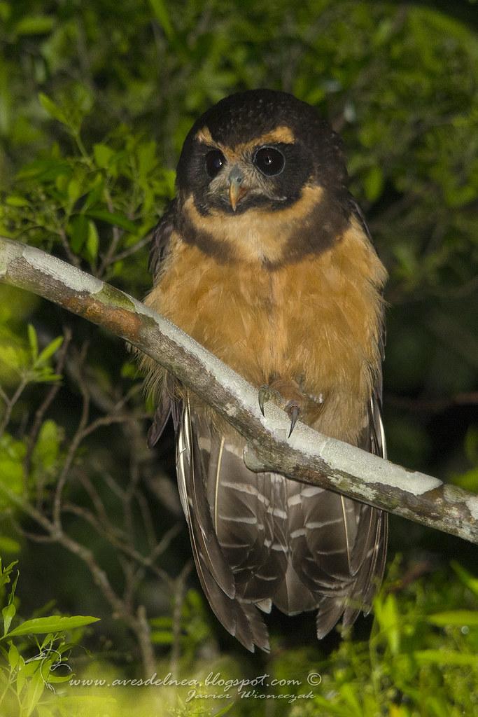 Lechuzón mocho chico (Tawny-browed Owl) Pulsatrix koeniswaldiana
