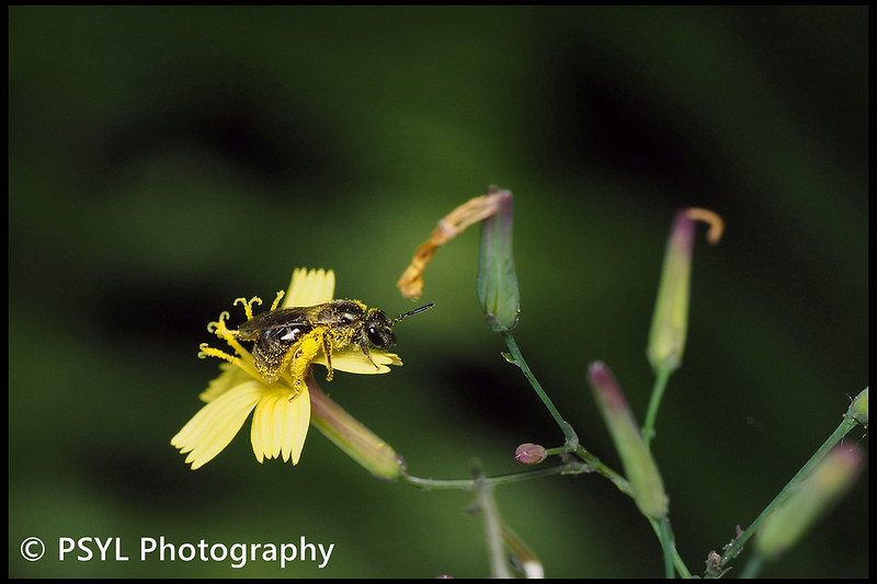 Halictid bee on Lactuca muralis