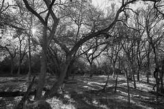 Forest - O.P. Schnabel Park - San Antonio - Texas - 29 January 2017
