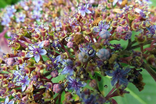 Lacecap Hydrangea flower texture