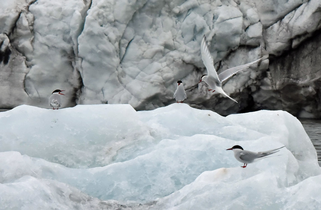 Arctic terns on ice at Hornsund, Spitsbergen