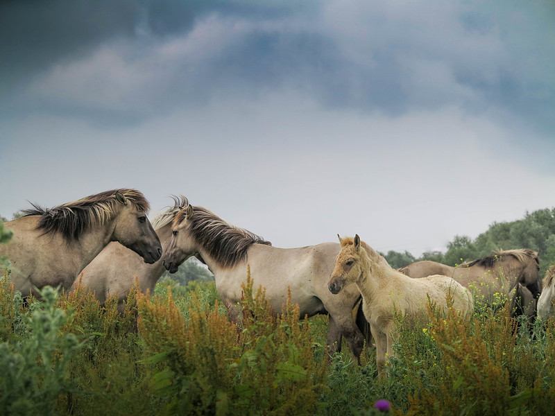 Konikpaarden Oostvaardersplassen Lelystad.