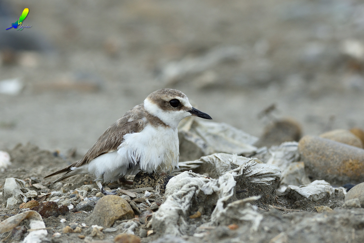 Kentish_Plover_8667