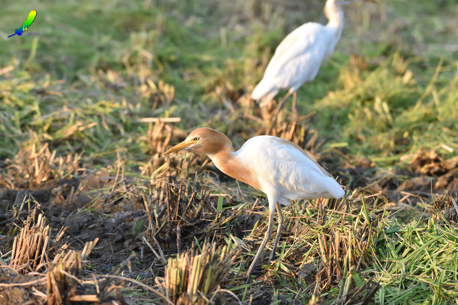 Cattle_Egret_0503