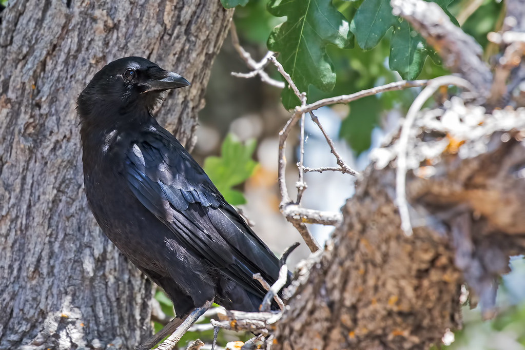 Crow-3-7D2-070517