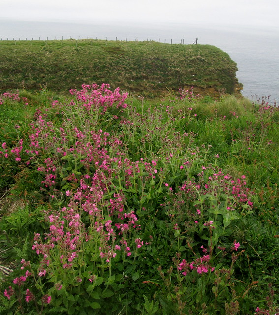 Flowers at Duncansby Head