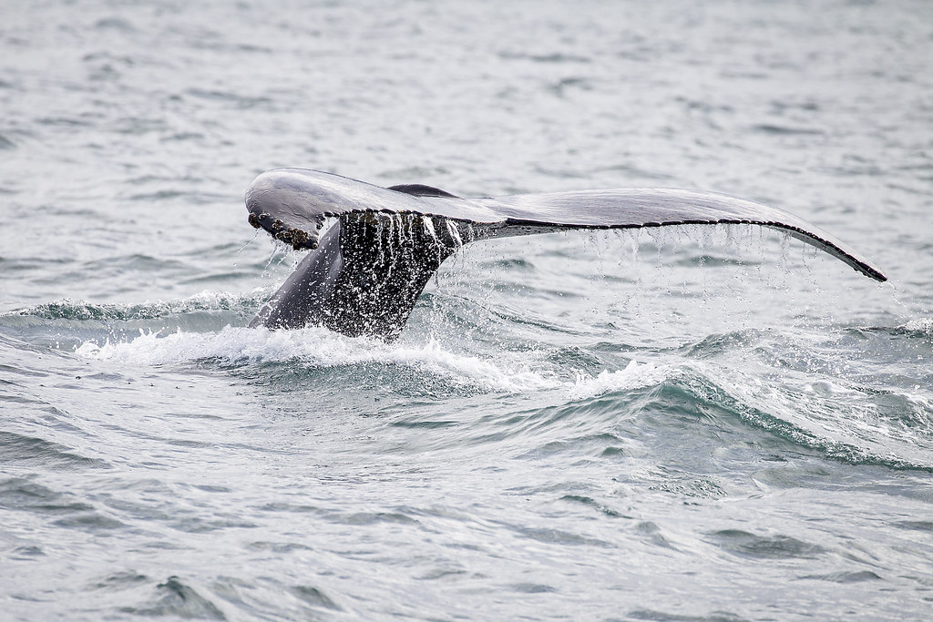* Whale watching with Husavik Adventures