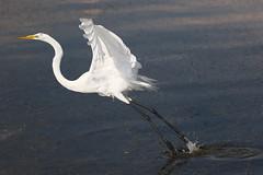 White Egret Water Takeoff
