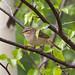 Radde's Warbler (Alan Curry)