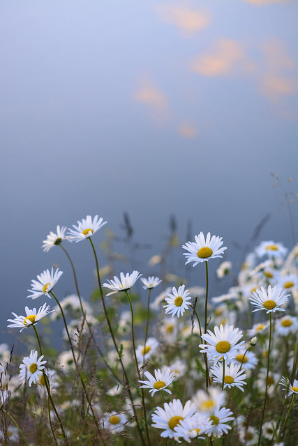 Marguerites in a slope and the sky reflected in glassy water