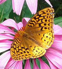 Great Spangled Fritillary Butterfly 20170702_140926-7.jpg