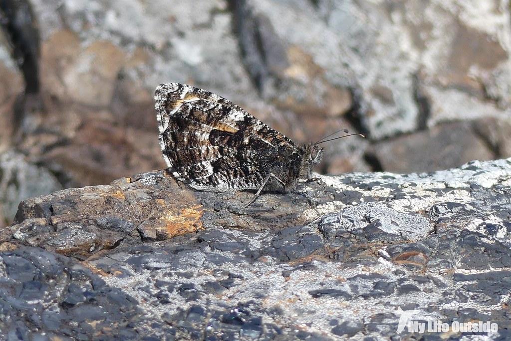 P1100095 - Grayling, Glengorm