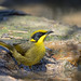 Yellow-tufted Honeyeater by petefeats