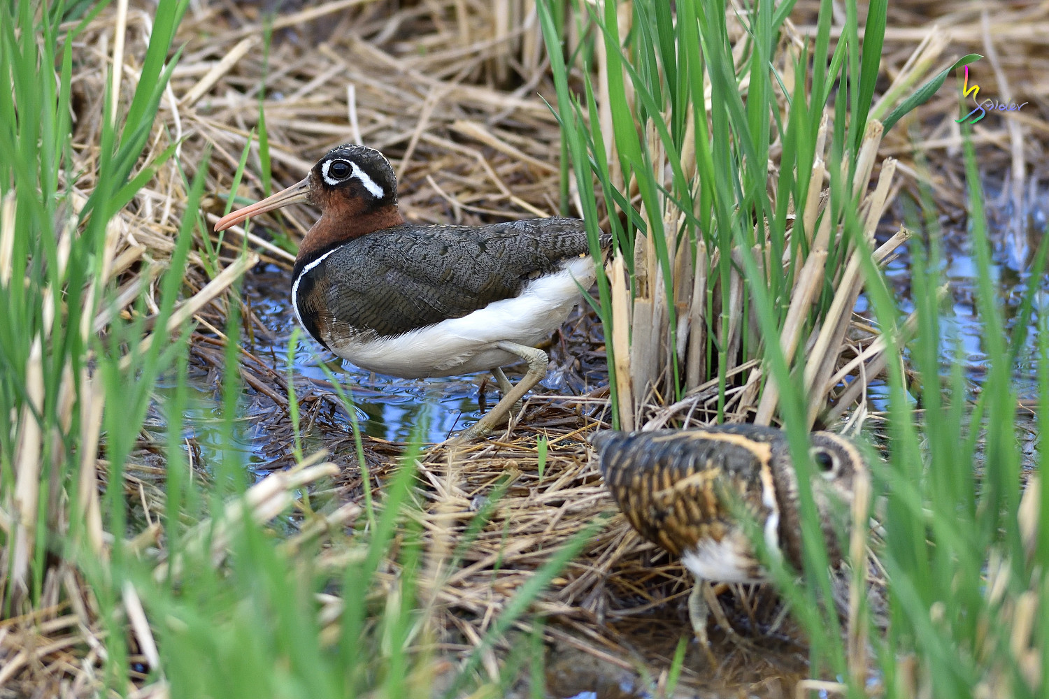 Painted_Snipe_1331