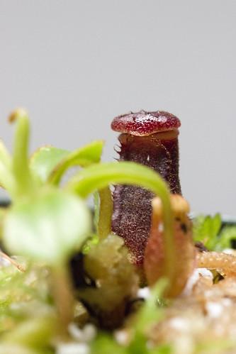 Nepenthes lowii G. Mulu AW