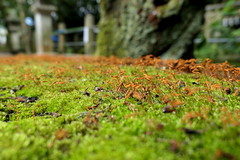 Photo:Moss on a bench at Niikawa Shrine (新川神社) By Greg Peterson in Japan